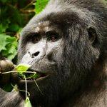 mountain-gorillas-in-uganda