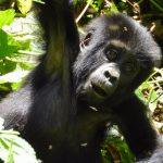 baby-gorilla-bwindi-forest-park