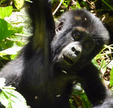Gorilla Trips Africa