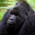 gorilla-in-mgahinga-gorilla-national-park