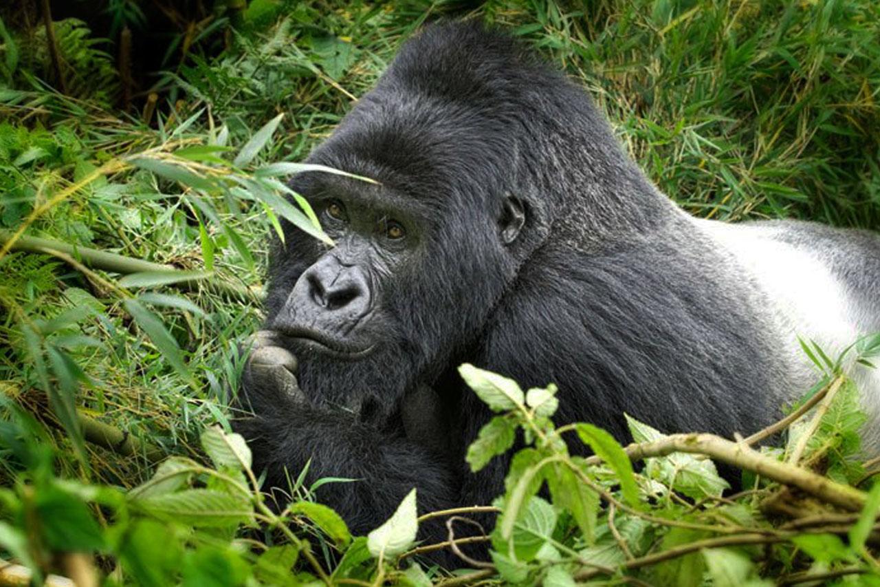 gorilla-in-volcanoes-national-park