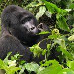mountain-gorilla-in-bwindi-impenetrable-national-park